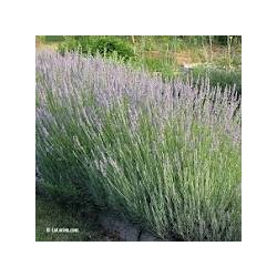 Huile essentielle de Lavandin super de Provence