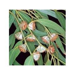 Huile essentielle Eucalyptus Globuleux
