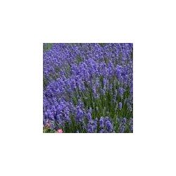 Eau florale de lavande vraie bio de Haute Provence