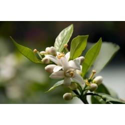 Eau florale de fleur d'oranger Bio